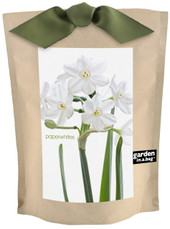 Garden-in-a-bag Paperwhites
