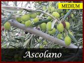ASCOLANO P356