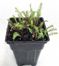 """Gothic Fairy Fern - Leptinella - 2.5"""" Pot - Terrarium/Fairy Garden/Houseplant"""