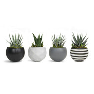"Magnetized NeoClassic Planter with Live Plant - 3 x 3 x 5"" - Grey - Live Trends"