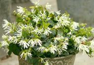 """Jazz Hands ™ DWARF WHITE Chinese Fringe Flower - 4"""" pot - Loropetalem"""