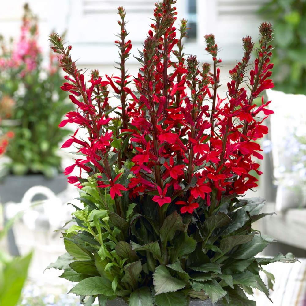 Fan Scarlet Cardinal Perennial Live Plant Lobelia Very Hardy