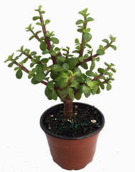 "Mini Jade Plant - Portulacaria afra - 4.5"" Pot"