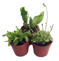 """Carnivorous Terrarium Plants - Assortment of 3 Plants in 2"""" Pots"""