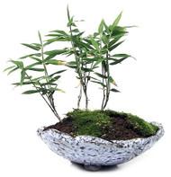 """Dwarf Whitestripe Bamboo - Pleioblastus fortunei - Grow Indoors/Out - 4"""" Pot"""