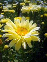 http://d3d71ba2asa5oz.cloudfront.net/12001418/images/shastadaisyrealdream1.jpg?refresh