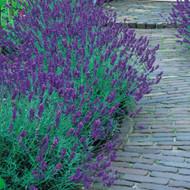 Munstead Lavender Herb - Perennial - Live Plant - Live Plant - Gallon Pot