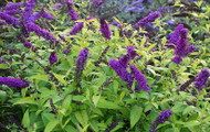 http://d3d71ba2asa5oz.cloudfront.net/12001418/images/buddleia-crown-jewels-butterfly-bush-closeup.jpg?refresh