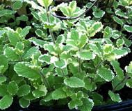 """Variegated Pineapple Mint - Mint Sauces, Fruit Salad - Live Plant - 4"""" Pot"""