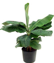 "Super Dwarf Patio Banana Plant - Musa - Great House Plant - 6"" Pot"