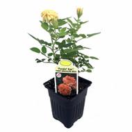 "Parade Kyo Miniature Rose Bush - Fragrant/Hardy - 4"" Pot"