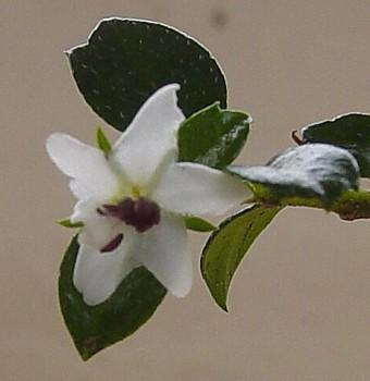 Fukien Tea Bonsai Tree - Carmona - 4
