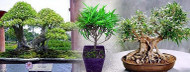 "Bamboo Leaf Weeping Fig Tree - Bonsai/House Plant - 4"" Pot - Ficus nerifolia"