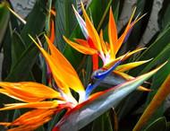 """Orange Bird of Paradise - 4"""" Pot - Strelitzia reginae - Collector's Series"""