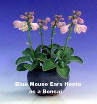 Blue Mouse Ears Hosta - 2008 Hosta of the Year - Dwarf - Quart Pot
