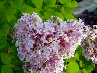 Colby's Wishing Star Lilac - Syringa - Extremely Fragrant/Rebloomer - Quart Pot