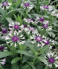 Amethyst in Snow Mountain Bluet - Centaurea montana - Live Plant -Quart Pot