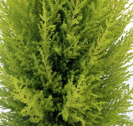 "Lemon Scented Goldcrest Cypress Tree - Indoors/Out - 6"" Pot"