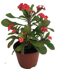 "Red Crown of Thorns Plant - Euphorbia splendens - 5"" Pot"