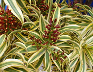 "Song of India Dragon Tree - Pleomele - Dracaena -4"" Pot-Easy to Grow House Plant"