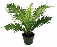 "Brazilian Tree Fern - Blechum brasiliense - Exotic - Dwarf - 4"" Pot"