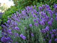 http://d3d71ba2asa5oz.cloudfront.net/12001418/images/lavenderpenomalhr.jpg?refresh