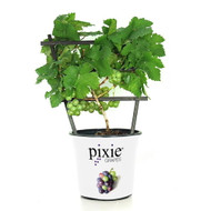 "Amazing Pixie Riesling Grape Vine Plant -2.5"" Pot- World's 1st Dwarf White Grape"