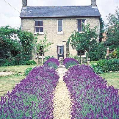 """Live Plant 3/""""  Pot Hidcote Blue Lavender Herb"""