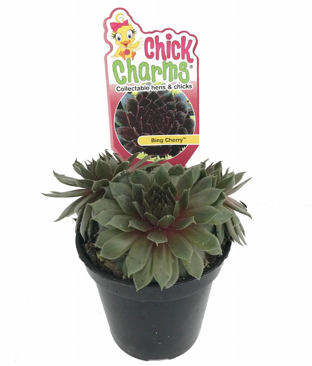 Bing Cherry Hens Chicks Sempervivum Indoorsout 35 Pot