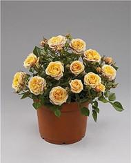 """Parade Cara Miniature Rose Bush - Fragrant/Hardy - 4"""" Pot"""