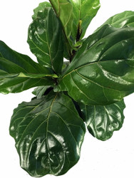 https://d3d71ba2asa5oz.cloudfront.net/12001418/images/fiddle_leaf_fig_ficus_lyrata_3new.jpg?refresh