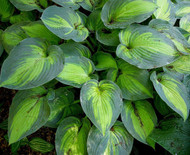 https://d3d71ba2asa5oz.cloudfront.net/12001418/images/june%20hosta.jpg?refresh