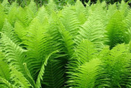 "Hardy Ostrich Fern - Matteuccia struthiopteris - Up to 8 Feet Tall! - 4"" Pot"