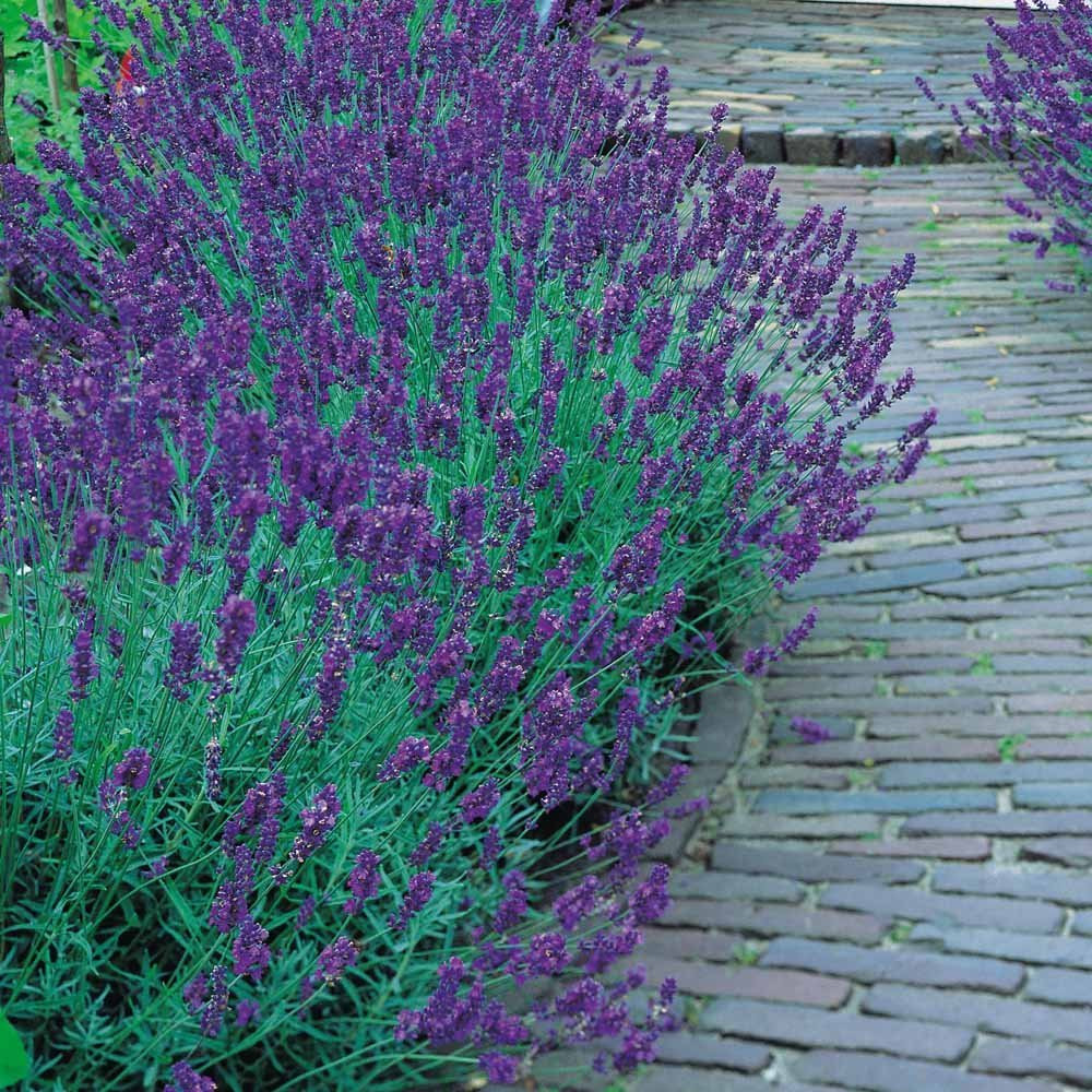 "5/"" Pot Very Fragrant //Refreshing//Calming Lavender Herb"