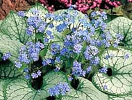 Jack Frost  Brunnera - Shade - Blue Flowers -  Live Plant - Gallon Pot