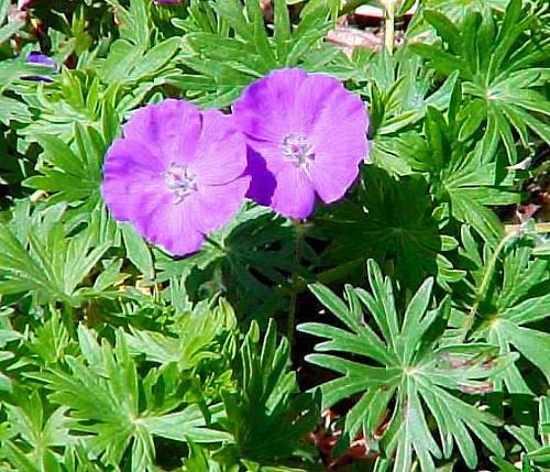 New Hampshire Purple Hardy Geranium Magenta Purple Flowers