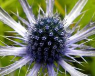 Blue Glitter Sea Holly Perennial - Eryngium - Live Plant - Quart Pot