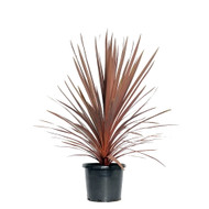 "Red Sensation Hawaiian Ti Plant - Cordyline - 6"" Pot - Easy to Grow House Plant"