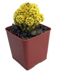 "Blazing Yellow Living Desert Jewel Cactus - 2"" Pot"