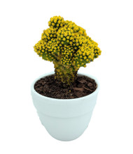 "Blazing Yellow Living Desert Jewel Cactus - 2.5"" Ceramic Pot"