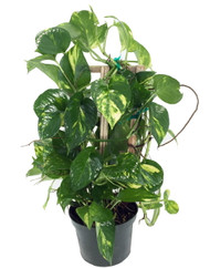 "Golden Devil's Ivy - Pothos - Epipremnum - 6"" Pot/Totem - Very Easy to Grow"