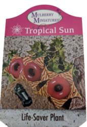 "Lifesaver Succulent Plant - Huernia - Exotic Flower - 2.5"" Pot"