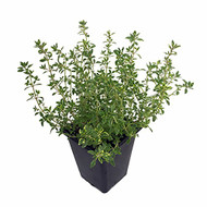 "Creeping Lemon Thyme - Mosquito Repelling - Live Plant - 3"" Pot"