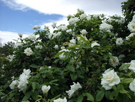 http://d3d71ba2asa5oz.cloudfront.net/12001418/images/roseiceberg3.jpg?refresh