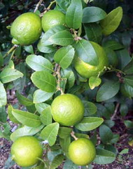 "Key Lime Tree - 8x4"" Pot - Fruiting Size - Make Key Lime Pie - Tree Form 1.5'-3'"