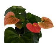 "Orange Champion Anthurium Plant - Easy to Grow House Plant- 4"" Pot-Great Gift"