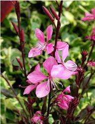 Pink Fountain Whirling Butterflies Perennial - Gaura - Gallon Pot