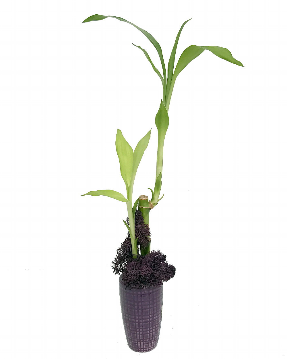 Lucky Bamboo with Moss - Purple Ceramic Vase - 3