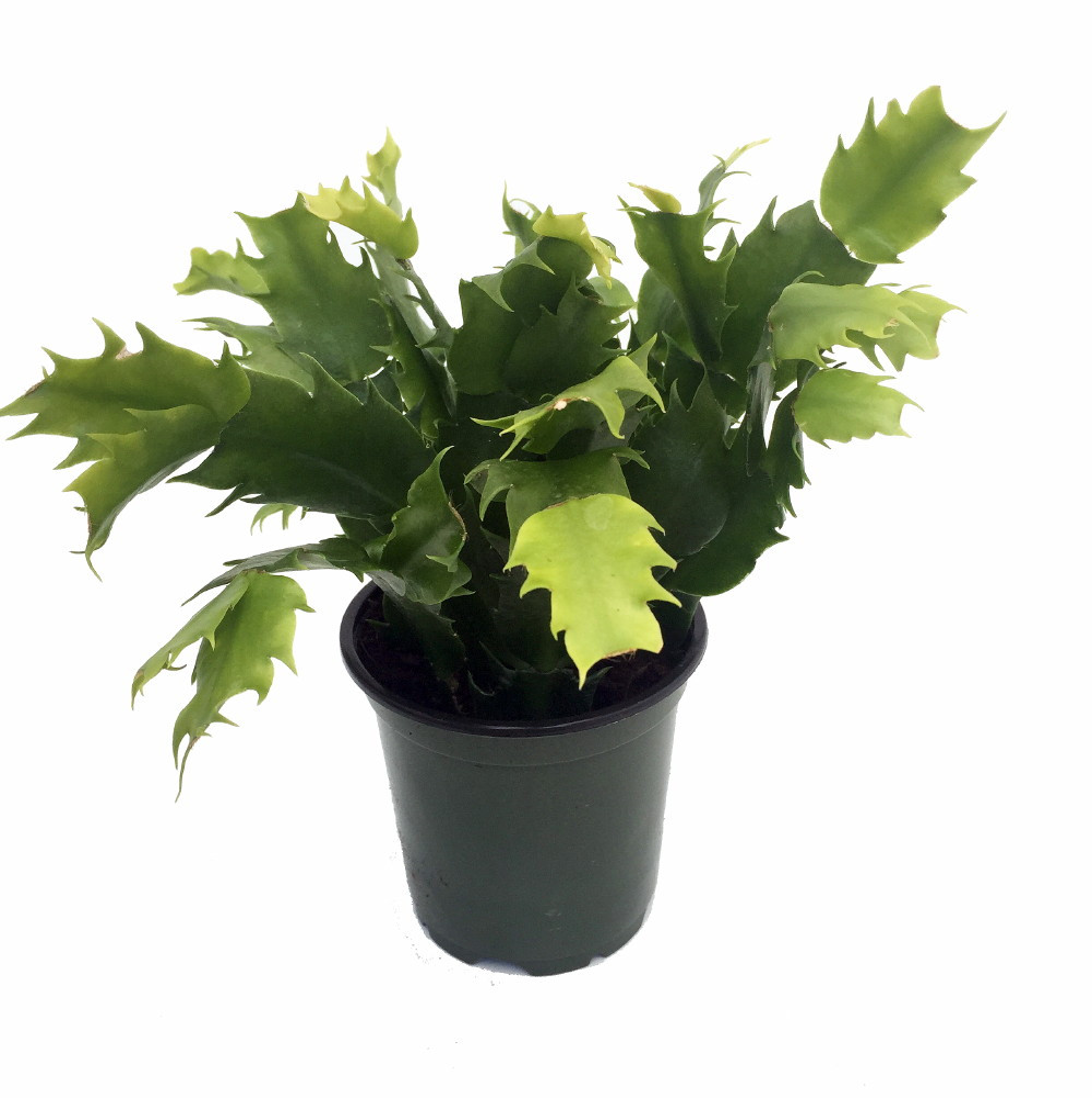 Christmas Cactus.Purple Christmas Cactus Plant Zygocactus 4 Pot