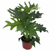 """Hirt's Gardens® Lickety Split Philodendron - Easy to Grow House Plant - 6"""" Pot"""